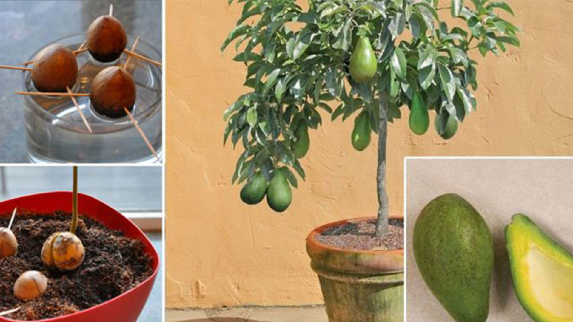 Авокадо в горшке: выращивание и уход в домашних условиях